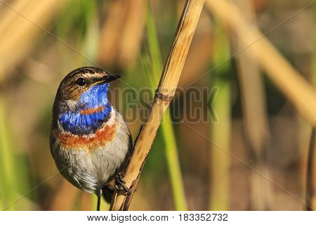 bluethroat colored bird sitting on a reed, forest birds and wildlife