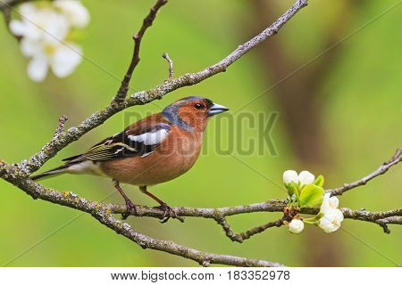 colored songbird sitting on a branch of flowers, forest birds and wildlife