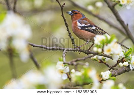 common chaffinch of flowers sitting on a branch, forest birds and wildlife