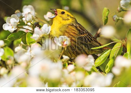 Emberiza citrinella singing the song of spring flowers, forest birds and wildlife