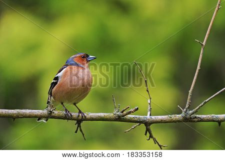 Fringilla coelebs sitting on a branch, forest birds and wildlife