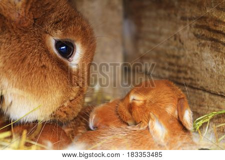 mother rabbit sniffs his little rabbits, Animals on the farm