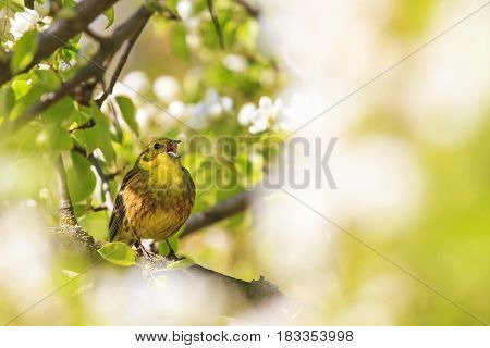yellow bird of spring flowers, forest birds and wildlife
