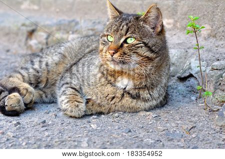 Gray street cat with green eyes lying on the asphalt looking away