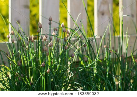 Chives growing in the garden against the wooden fence, selective focus