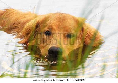 Golden Retriever Dog Swimming On A Lake