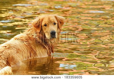 Wet Dog Swimming On A Water Of A Lake.