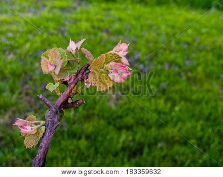 multiple blooms on one grape vine section