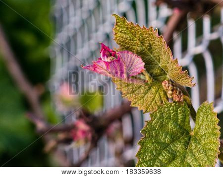 Spring is here the grape vines are blooming