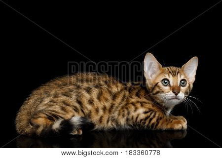 Bengal Kitten Lying and Looking up on isolated Black Background with reflection, Side view