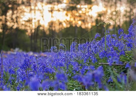 Carpets of bluebells in the woods in the evening light in East Sussex, England