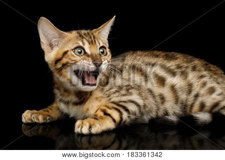 Bengal Kitten Lying and Meowing on isolated Black Background with reflection, Side view