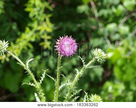 Although classed as a weed, the thorny thistle has beautiful geometric blooms and then takes the bloom full circle for even more beauty.