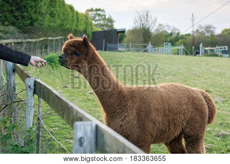 Brown alpaca fed the grass in the green field in English farm, selective focus