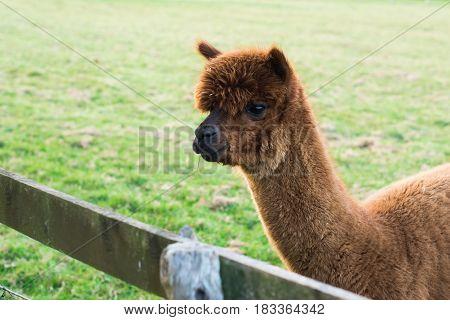 Brown alpaca in the green field in English farm, selective focus