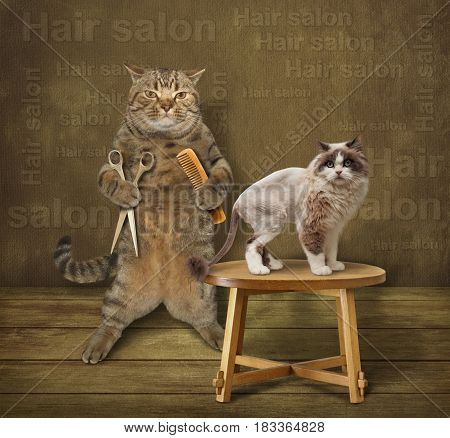 The cat hairdresser is holding a comb and scissors. He made a haircut for his client.