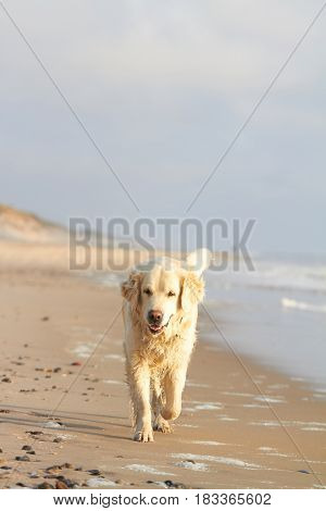 Excited young golden retriever jumping and running on the beach