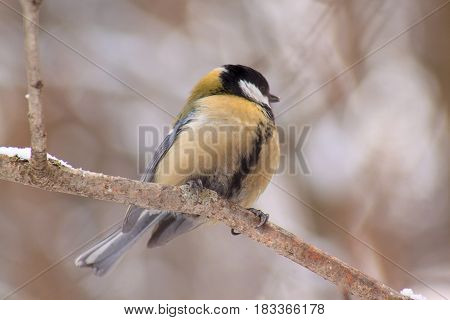 The titmouse sits on a branch tree in winter forest. Beauty in nature.