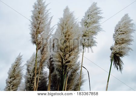 Soft fluffy tall Pampas Plume Grass beige plumes on a cloudy day.