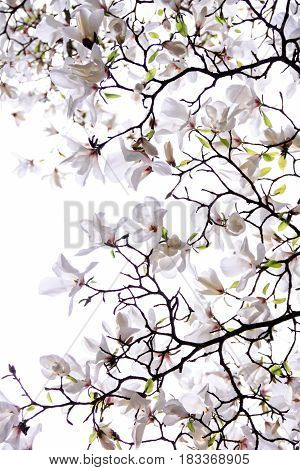 Luxuriant flowering of the white magnolia on a white background