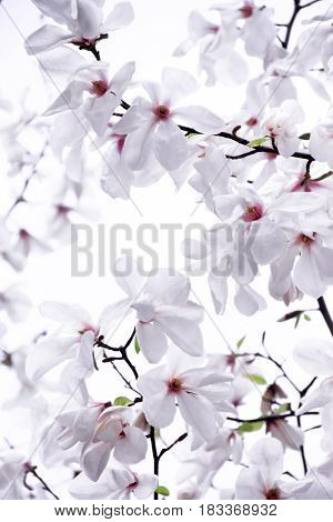 Gently white magnolia on a white background