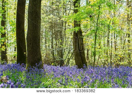 Blossoming bluebells in Abbot's Wood in East Sussex, England
