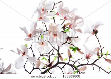 Bouquet of pink magnolia flower on a white background
