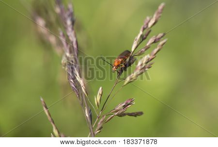 common red soldier beetle on a grass seed stalk