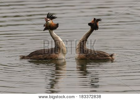 Pair of Great Crested Grebes perform their courtship dance