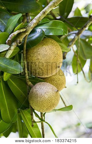 close-up of the ripe apricotsabricot pays Martinique