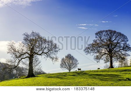 A pastoral scene of sheep grazing on a tree clad slope in Northern England.