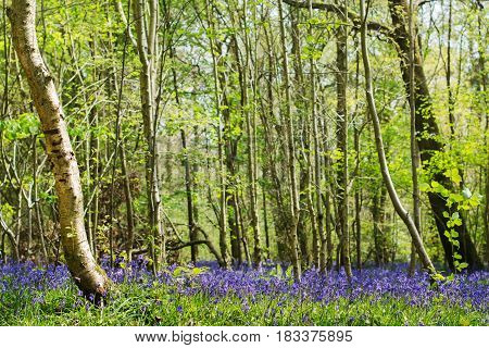 Green forest with carpets of bluebells in Abbot's Wood in East Sussex, England