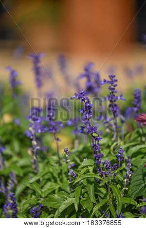 closeup of Blue Salvia (beautiful purple flower) blooming in the garden