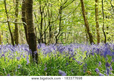 Beautiful bluebell forest in Abbot's Wood in East Sussex, England
