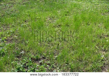 Natural uncultivated grass plot in the park