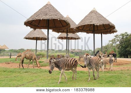 Zebra and Camel on green in the nature wild