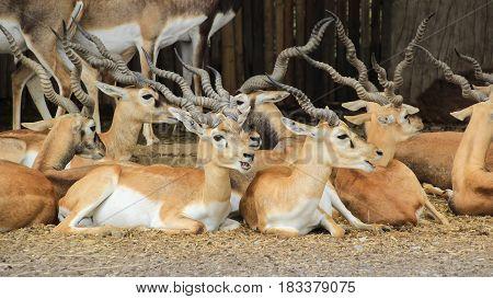Group of Blackbucks Indian antelopes lay down on ground