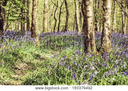 Toned photo of bluebell forest in Abbot's Wood in East Sussex, England