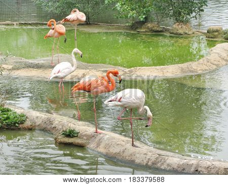 five pink flamingoes birds in water pool
