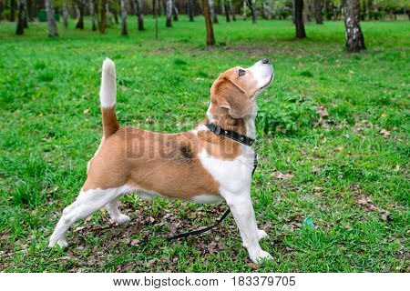 Funny portrait of the beagle outdoor on green grass background