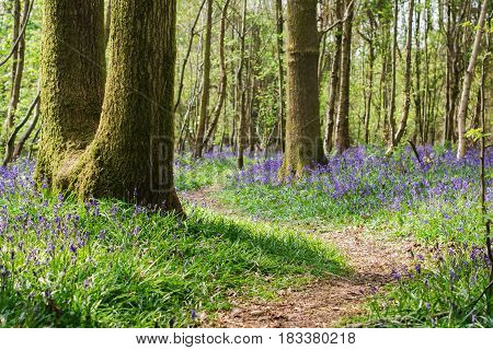 Walking path and carpets of bluebells in Abbot's Wood in East Sussex, England