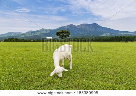 Goats Eat Grass In A Farm Near Aso Mountain In Kumamoto, Japan