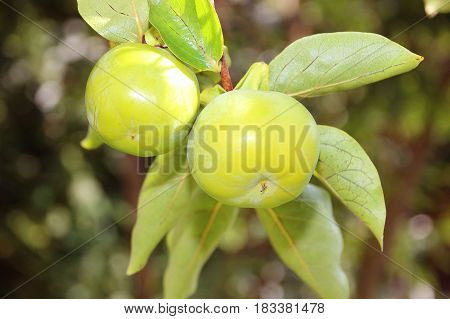 Unripe persimmon on branch. Persimmon tree in Montenegro