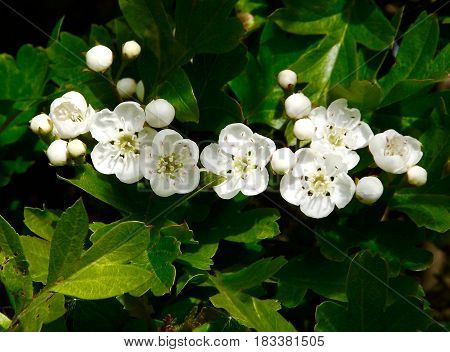 Hawthorn blossom otherwise known as mayflower, a common hedgerow bloom in Spring