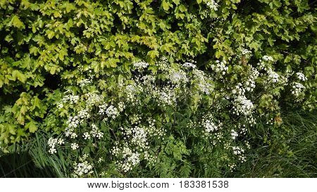 Cow Parsley or Queen Anne's Lace (anthriscus sylvestris) a common wild flower