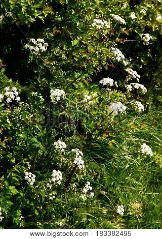Cow Parsley, (anthriscus sylvestris). A common white wild flower