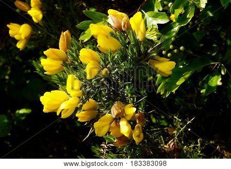 Gorse (ulex europaeus) a thorny yellow flowering hedging shrub
