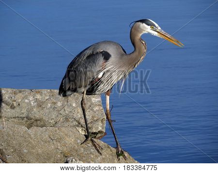 A Great Blue Heron standing on a rock in front of a blue lake.