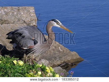 A Great Blue Heron by large rocks in front of a blue lake with yellow flowers in the foreground.