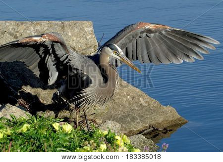 Great Blue Heron with wings outstretched walking beside a blue lake with yellow flowers in the foreground.